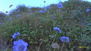 三伏ガレのお花畑